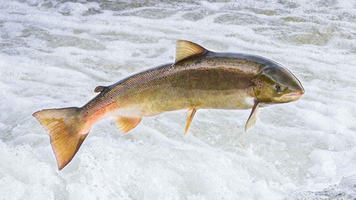 Vattenfalls fiskodling uppgraderas